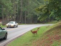 Deer Next to Road