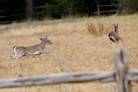Deer Running through Field