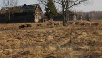 Wild Boar in Abandoned Village