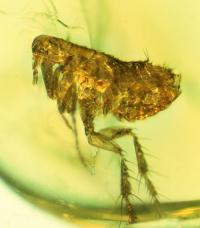 Flea in Amber