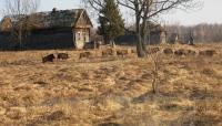Wild Boar at Chernobyl