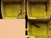 Toxic Runoff Affects Fish Behavior