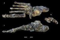 <i>Homo naledi</i> Foot