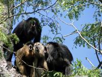 A Chorus of Howler Monkeys, <i>A. caraya</i>