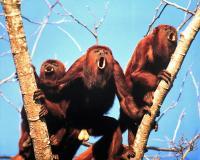 <i>A. arctoidea</i> Howler Monkeys