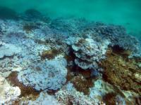 Bleached Coral Lisianski