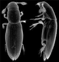<i>Scydosella musawasensis</i>