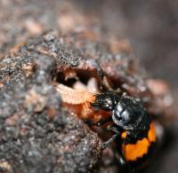 Burying Beetle Feeding her Young