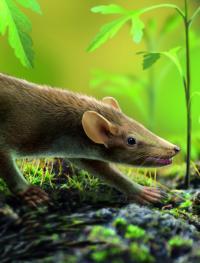 Prehistoric Mammal <I>Spinolestes</I> in the Cretaceous-Period Las Hoyas Wetland