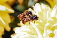 Red Mason Bee Mating