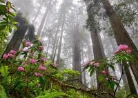 <i>Sequoia sempervirens</i>