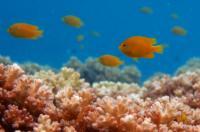 Lemon Damsel Fish in Coral
