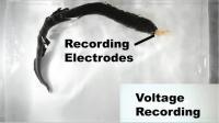 Electric Eel's Curling Maneuver