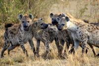 Spotted Hyenas in Kenya