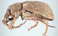 Rice Water Weevil, <em>Lissorhoptrus oryzophilus</em>