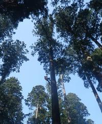 Associate Professor Ishii Climbing a Tall Japanese Cedar Tree for Leaf Sampling