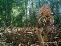 Tiger Camera Trap