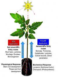 Nanoparticle Uptake in Tomato Plants