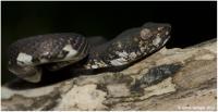 Anderson's Pitviper (<i>Trimeresurus andersoni</i>)