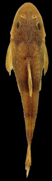 <i>Curculionichthys sabaji</i> (3 of 3)
