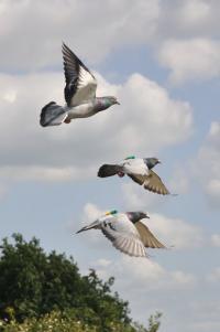 Pigeons in Flight (2 of 3)
