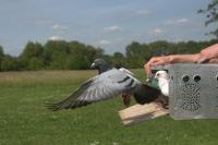 Pigeon in Flight (3 of 3)