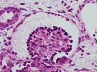 Vasculature Connected Glomerulus