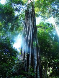 Amazonian Tree