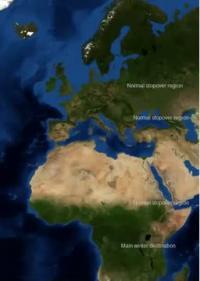 Displaced Cuckoos' Migration