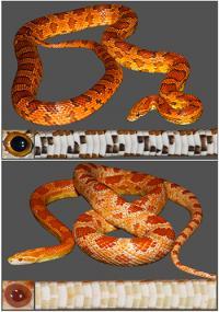 The Corn Snake