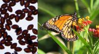 Monarch Parasites