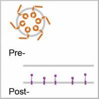 Gallio -- Animated Synapse