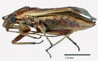 <I>Restiophylus lyginiae</I>