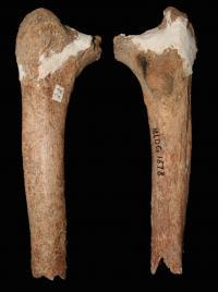 Thigh Bone