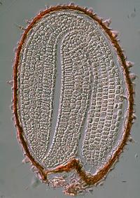 Arabidopsis Seed