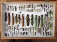 Praying Mantis Specimens