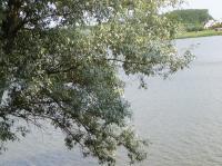 Checklist Completed for Cultivars of <em>Salix</em> L. (Willow)