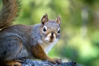 Red Squirrel in Algonquin Park