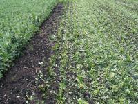 Faba Bean Cut for Green Manure in Field