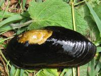 Mussel Stocks