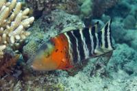 <em>Cheilinus fasciatus</em>