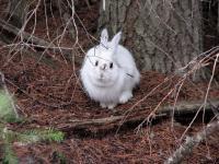 Snowshoe Hare Mismatched