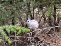 Snowshoe Hare Mismatched-2