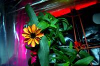 Space Zinnias in Bloom