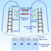 Structure of Brush Border Microvilli