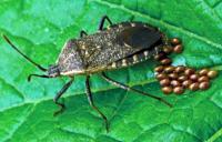 Female Squash Bug