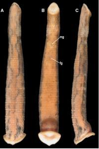 C. tanae External