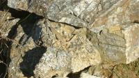Aegean Wall Lizard Resting on Rock