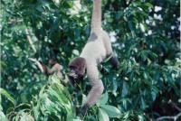 Grey Woolly Monkey