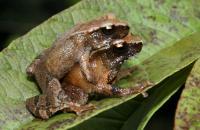 <I>Blythophryne beryet</I> Toads
